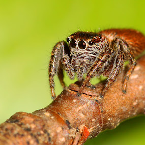 Spider ... by Mehmed Mestanov - Animals Insects & Spiders ( macro, nature, nature close up, spider, close up )