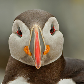 Puffin Face by Herb Houghton - Animals Birds ( alcid, puffin )