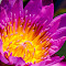 Water Lily-57.jpg