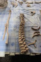 Photo: La paciente labor de Miriam para reconstruir los esqueletos