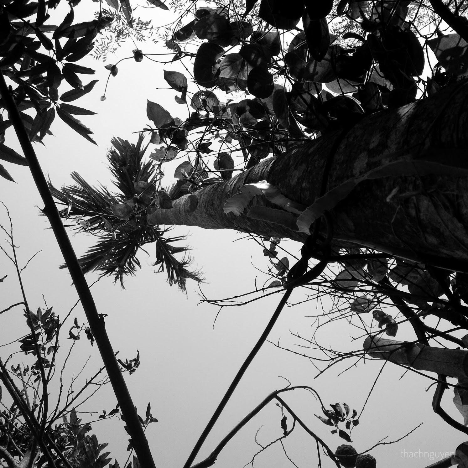 cây cau