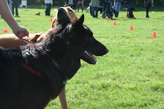 Photo: Lexy GSD (German Shepherd Dog)