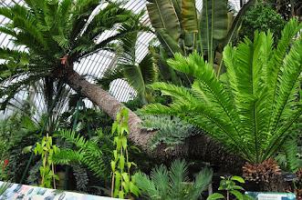 Photo: Encephalartos altensteinii - oudste potplant , in Palmhouse Kew - Royal Botanical Gardens