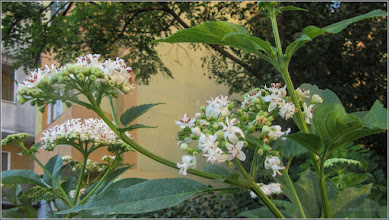 Photo: Boz (sambucus ebulus) - de pe Aleea Plopilor - 2017.07.23