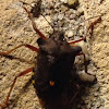Red-legged Stink Bug or Forest Bug
