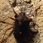 Red-legged Stink Bug or Forest Bug