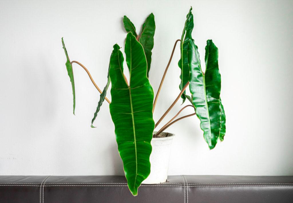 philodendron soorten billietiae