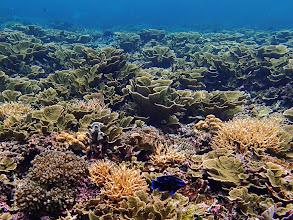 Photo: Paraglyphidodon oxyodon (Blue Velvet Damselfish), Small Lagoon, Miniloc Island, Palawan, Philippines.