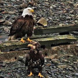 Parent and Child by Patricia Phillips - Animals Birds ( alaska homer eagles birds predators )