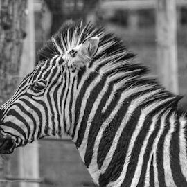zebra by Garry Chisholm - Black & White Animals ( zebra, nature, mammal, animal, garry chisholm )