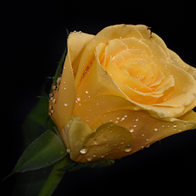 yellow rose flower by LADOCKi Elvira - Flowers Single Flower ( floral, nature, plants, garden, flower )