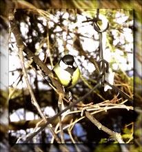 Photo: széncinege(Parus major)