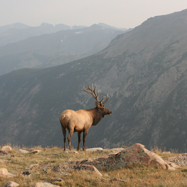Elk in Rocky Mountain National Park by Karen Rothers - Animals Other