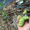 Paw Paw (fruit)