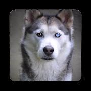Husky Dog Wallpaper HD APK