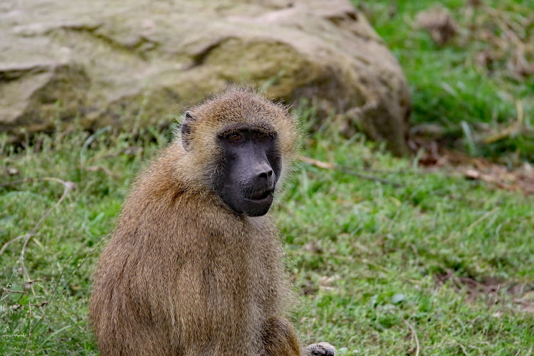 Baboon. File picture