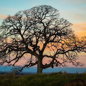 Morning Oak by Michael Mercer - Nature Up Close Trees & Bushes (  )