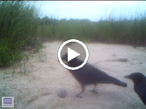 Video: The crows are very interested in the tennis ball that washed ashore here!