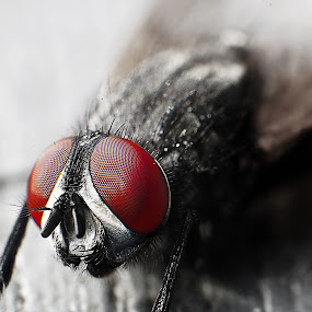 Close-up fly by Aram Becker - Animals Insects & Spiders ( detail, macro, selective color, fly, close-up, eyes )