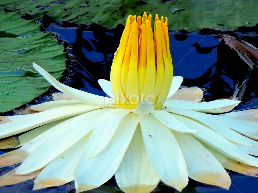 Nymphaea alba  by Yusop Sulaiman - Nature Up Close Flowers - 2011-2013