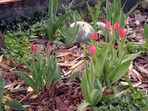 Photo: the tulips are showing