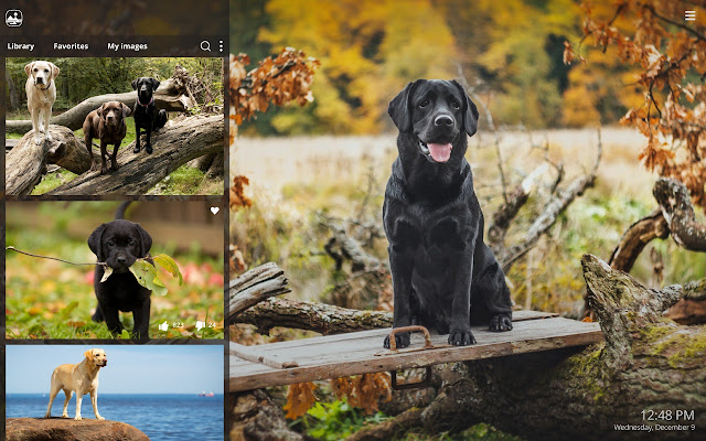 My Labrador Hd Puppy Dog Wallpapers