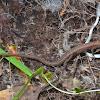 pygmy algyroides