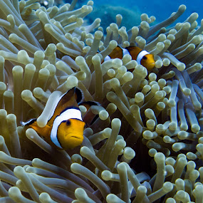 2 Clown Fish by Daniel Sasse - Animals Fish ( marine, marinelife, plongee, ao nang, underwater, ecosystem, thailand, krabi, photography, clown fish, scuba, buceo, tauchen, diving, nemo, biology, eco )