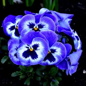 Blue Pansies by Jennifer Parmelee - Flowers Flower Gardens ( blue, pansies, places, flowers, garden )