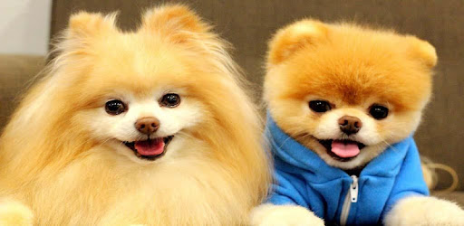 Pomeranian Dog Wallpapers Hd Apps On Google Play