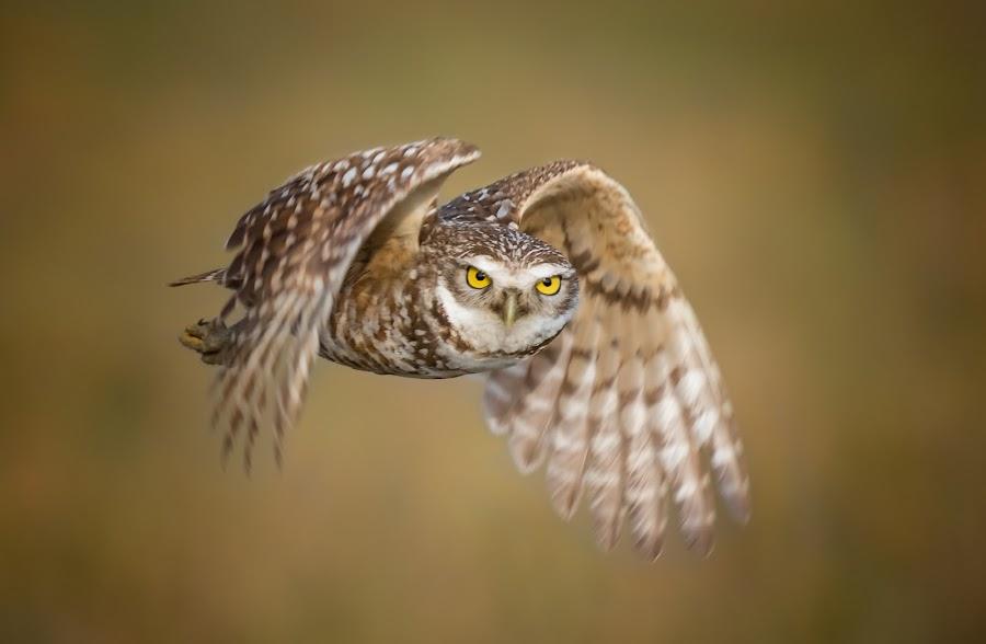 Golden hour flight  by Liza Chevres - Animals Birds ( burrowing owl, florida, owl, golden hour, bird in flight,  )