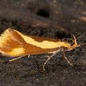 Forficella Concealer Moth