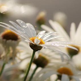 Daisy a day by Carolyn Lawson - Flowers Flower Gardens