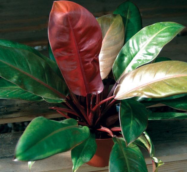 Philodendron species.