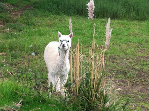 Photo: Some towns has alpacas hanging out in suburban yards or fields or even in town.