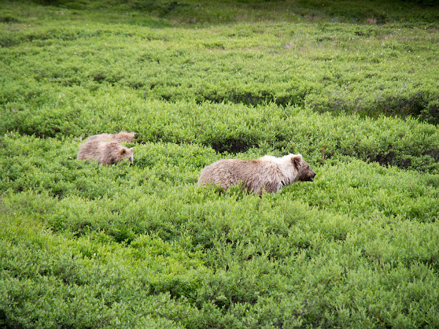 Bears at Denali National Park