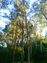Photo: Eucalyptus trees have sparse canopies.