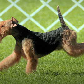 Scout, a Lakeland Terrier by Lena Arkell - Animals - Dogs Running ( dog, lakeland terrier, terrier, male, champion,  )