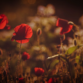 img..8564 by Eric Schoen  - Abstract Fine Art ( mirowsky, e.schoen, rot, red, mohn, bokeh )