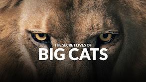 The Secret Lives of Big Cats thumbnail