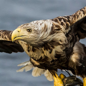 White tailed eagle by Dennis Hallberg - Animals Birds ( bird, eagle, white tailed eagle, sea eagle,  )