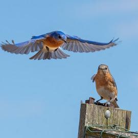 by Jerry Hoffman - Animals Birds (  )