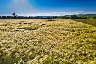Photo: Morning corn field... with polaroid filter
