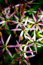 Photo: Allium - prints and cards here - http://www.inspiraimage.com/index.php/gallery/flowers/250-allium-flowers