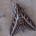Striped-hawk moth -