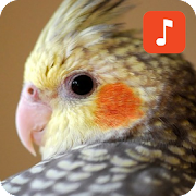 Cockatiel Bird Ringtones‏