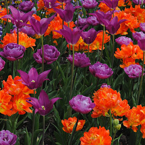 Bountiful by Barbara Langfeld - Flowers Flower Gardens ( orange, flower garden, purple, park, gardens, flowers, spring,  )