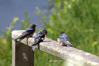 Photo: Swallows