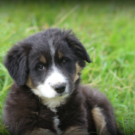 by Áslaug Stefánsdóttir - Animals - Dogs Puppies