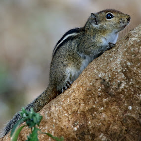 Indian palm squirrel Rodent by Vivek Naik - Animals Other